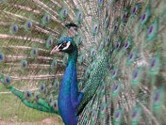 Media Library - Peacock